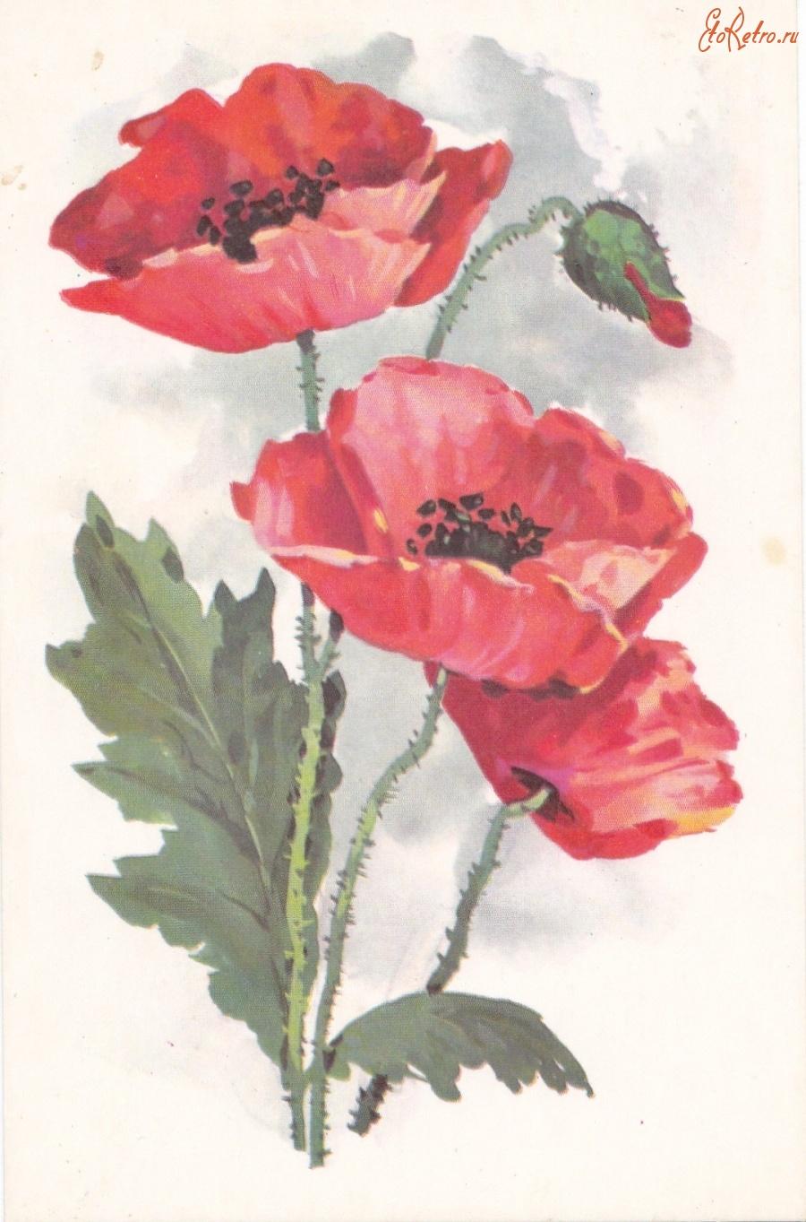 Солнцем надписями, советские открытки с маками