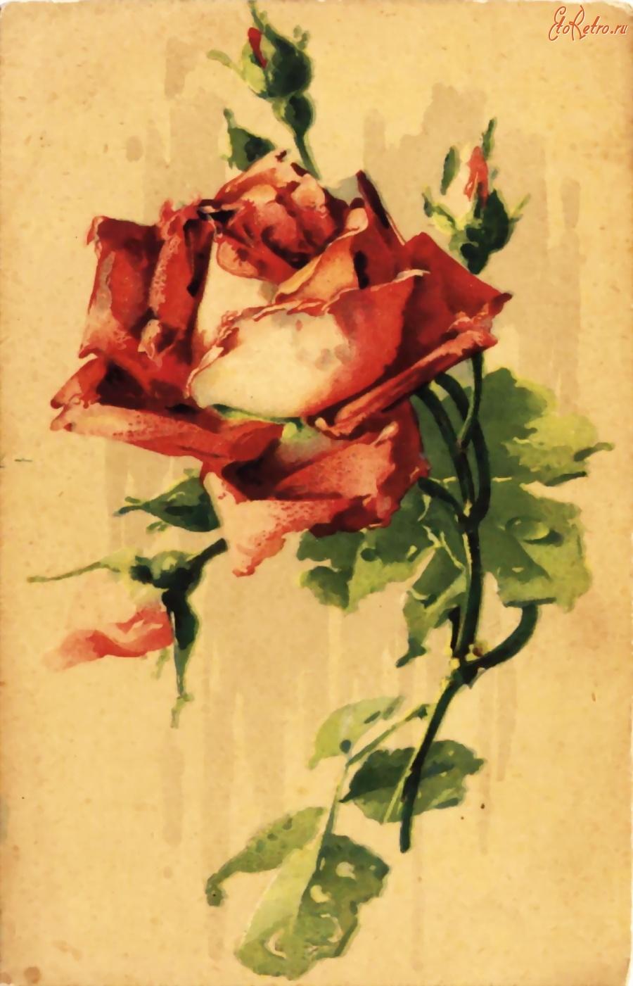 Обычные картинки, открытки розы ретро