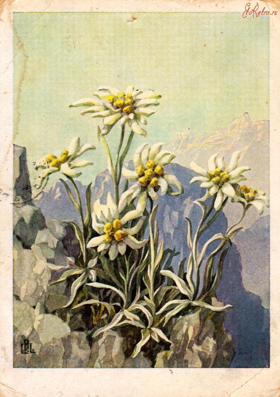 Эдельвейс открытки украина 72